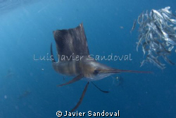 saifish in Mexico, awesom encounter!!!!!!!!! by Javier Sandoval 